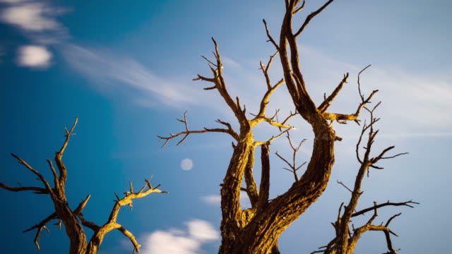 pan, tilt and linear timelapse of an abstract dead acacia tree shooting up from a low angle against a blue sky with clouds moving past - directly below stock videos & royalty-free footage