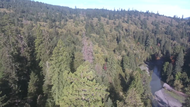 vídeos de stock, filmes e b-roll de pan to look down redwood, aerial, 4k, 24s, 28of50, forest trees, northern california tallest trees in the world, sun flare, hyperion tree, world record, stock video sale - drone discoveries 4k nature/wildlife/weather drone aerial video - sequoia sempervirens
