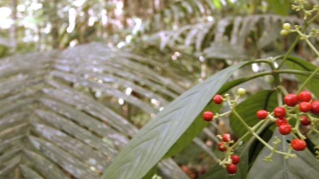 vídeos de stock, filmes e b-roll de pan to red berries growing on an understory shrub - fruta