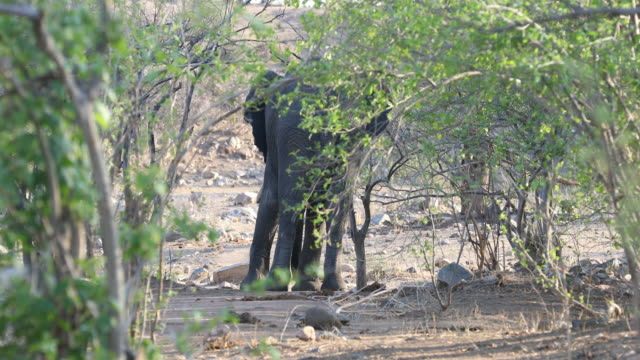 A pan to the left showing a single elephant in the bushes at Hwange National Park in Zimbabwe