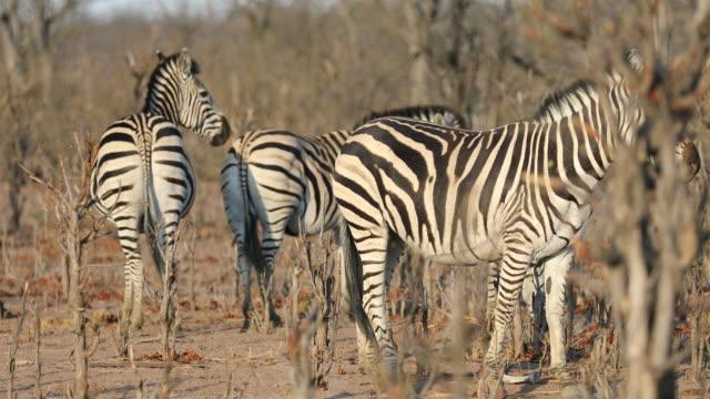 vídeos de stock, filmes e b-roll de pan to the right showing zebras at hwange national park in zimbabwe. - deserto de kalahari