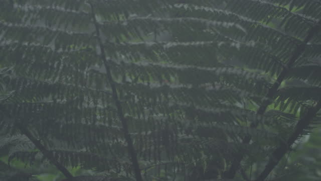 pan up a tree fern (cyatheales) in the el triunfo cloud forest. - fern stock videos & royalty-free footage