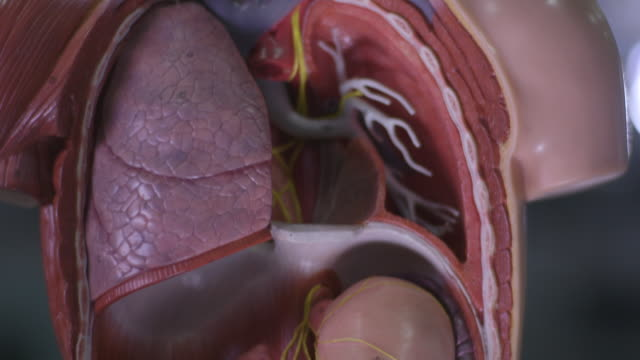 pan up an anatomical model of the human body. - anatomy stock videos & royalty-free footage