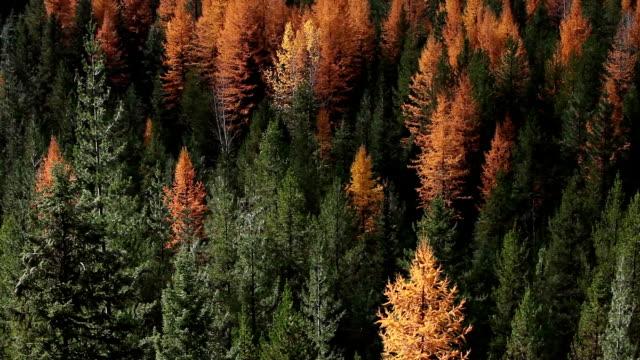 vídeos y material grabado en eventos de stock de pan up and down of autumn golden larch trees in pine forest. - pinaceae