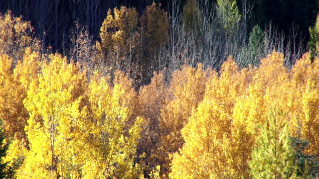 vídeos y material grabado en eventos de stock de pan up and down telephoto shot of golden fall colored trees in evergreen forest. - pinaceae
