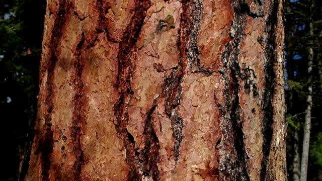 Pan up close up shot of Ponderosa Pine tree bark.
