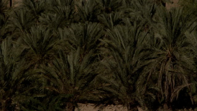 Pan up from a grove of palm trees to the town of Shibam Yemen.