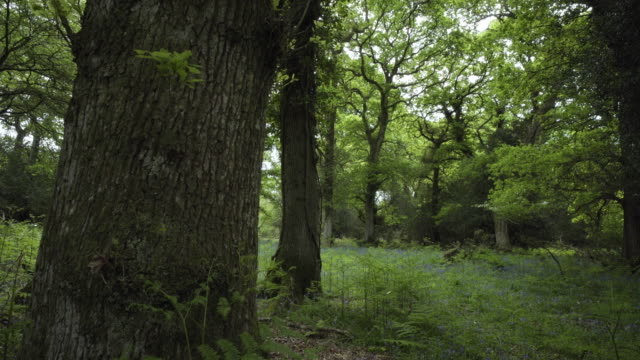 pan up oak tree (quercus robur) trunk, oak forest, new forest - tree trunk stock videos & royalty-free footage