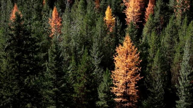 vídeos y material grabado en eventos de stock de pan up of autumn golden larch trees in pine forest. - pinaceae