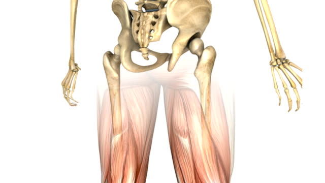 vídeos de stock, filmes e b-roll de a pan up of the male skeletal system over which the muscular system fades up all of which completes a double rotation in an anti-clockwise motion. then camera then zooms out to show the full muscular - músculo humano