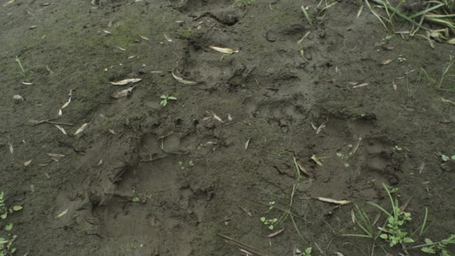 pan up over bear's paw prints to river, kamchatka, 2009 - paw print stock videos & royalty-free footage