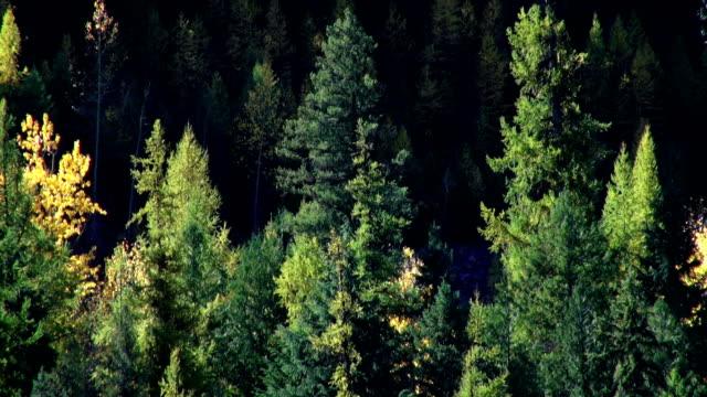 vídeos y material grabado en eventos de stock de pan up telephoto shot of golden fall colored trees in evergreen forest. - pinaceae