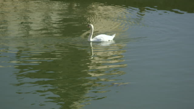 pan up to a mute swan swimming on a lake at the el escorial palace, spain. - cigno reale video stock e b–roll