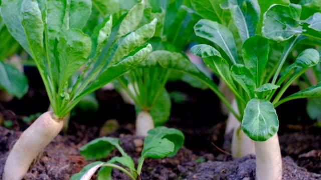 Pan view footage of White Daikon radish in farm