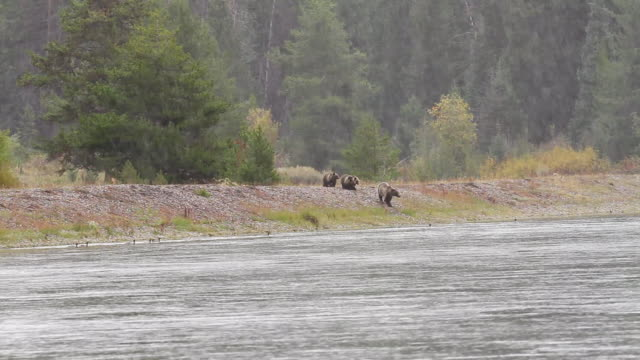 vídeos y material grabado en eventos de stock de ws pan view of grizzly and cubs crossing snake river in early fall blizzard / tetons, wyoming, united states - río snake