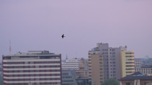 pan with common house martin over berlin skyline at sunset - vogel stock-videos und b-roll-filmmaterial