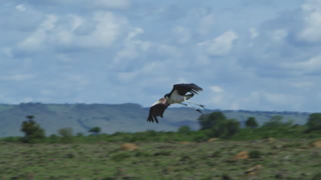 vídeos y material grabado en eventos de stock de slomo pan with marabou stork gliding in over river - hurgar en la basura