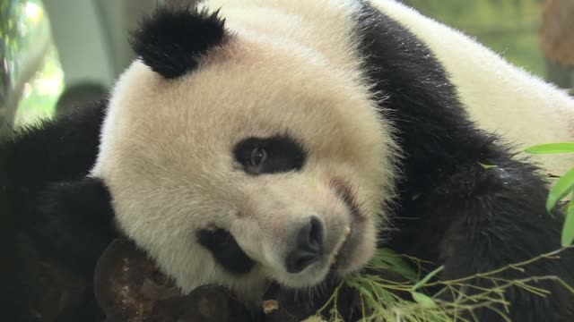stockvideo's en b-roll-footage met panda and tigers keep cool at shanghai zoo as a record breaking heat wave continues to bake china - panda
