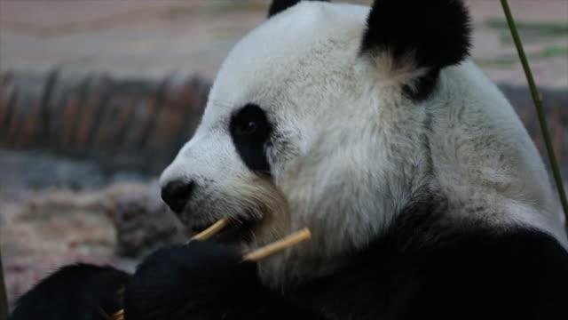 Panda Tier Essen Bambus.