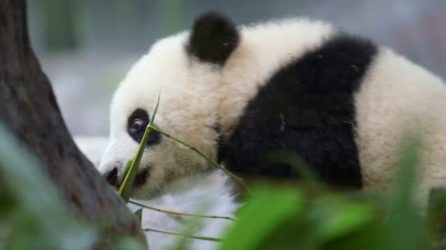 vidéos et rushes de bébé panda - panda