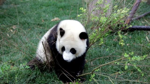vídeos y material grabado en eventos de stock de oso panda comer hojas - panda animal
