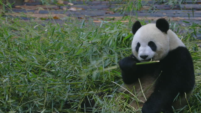 stockvideo's en b-roll-footage met a panda bear sits on the ground and eats bamboo in chengdu, china. - bamboo plant