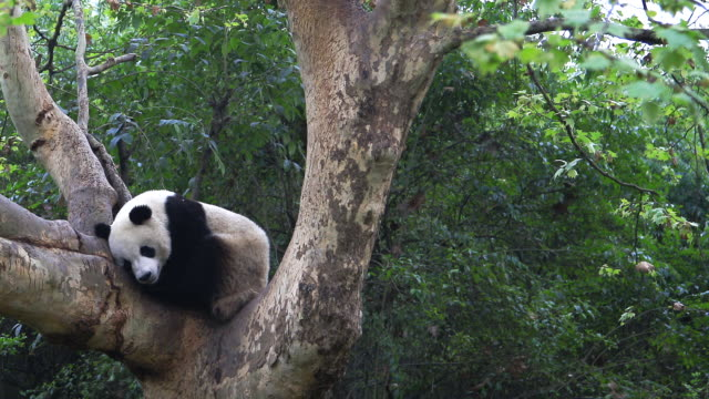 a panda bear sleeps in the middle of a tree in chengdu, china. - 成都点の映像素材/bロール