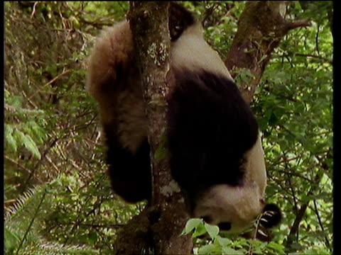 Panda climbs and gets stuck in tree