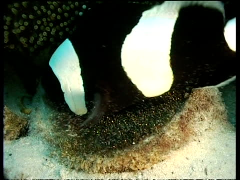 CU Panda Clownfish, cooling eggs, zooms in and out, Mabul, Borneo, Malaysia