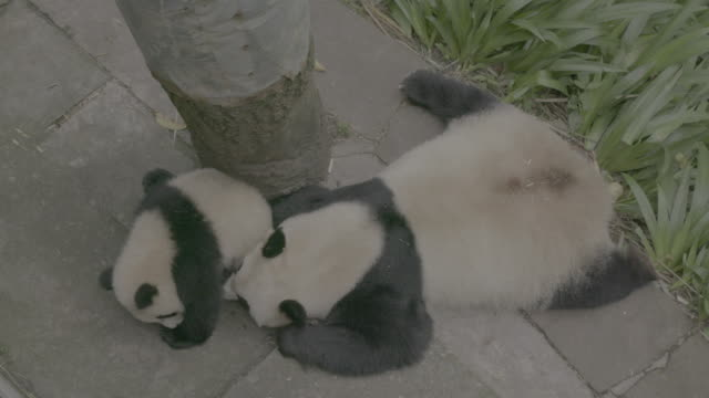 vidéos et rushes de panda cub and its mother in panda center, wolong district - famille d'animaux