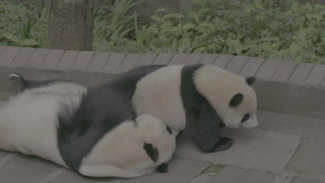 vídeos y material grabado en eventos de stock de panda cub and its mother in panda center, wolong district - oreja animal