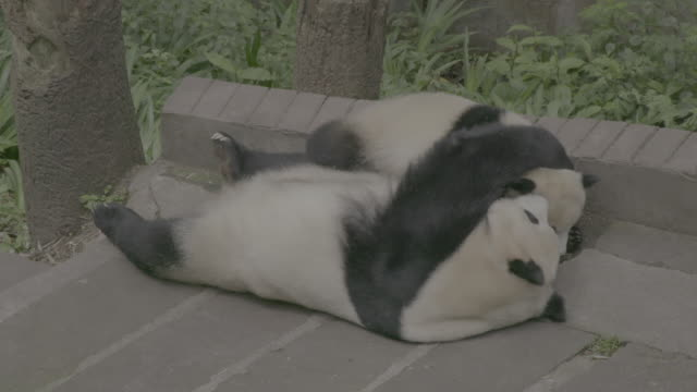 panda cub and its mother in panda center, wolong district - animal hair stock-videos und b-roll-filmmaterial
