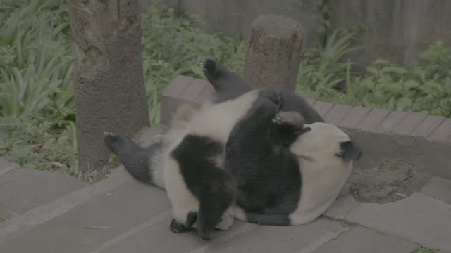 panda cub and its mother in panda center, wolong district - animal family stock videos & royalty-free footage