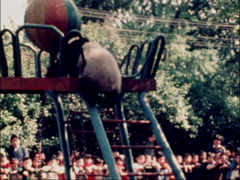 peking peking zoo panda yuan ling in pit bv panda climbing up ladder to platform lms and ms panda swinging on tyre swing tx - tyre swing stock videos & royalty-free footage