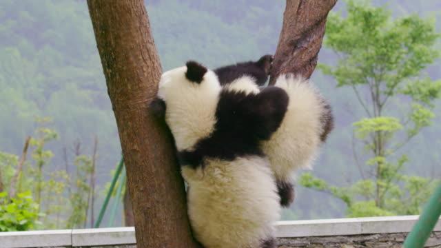 panda cub falling from a tree, china - パンダ点の映像素材/bロール
