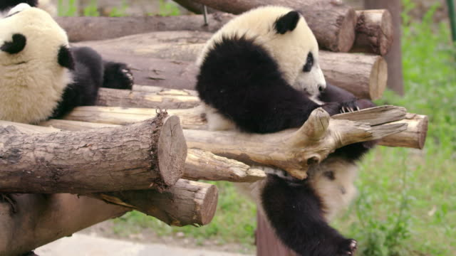 vidéos et rushes de panda cub falling from a tree, china - film documentaire image animée