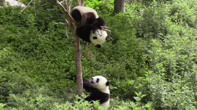 panda cub falling from a tree, china - hanging stock videos & royalty-free footage