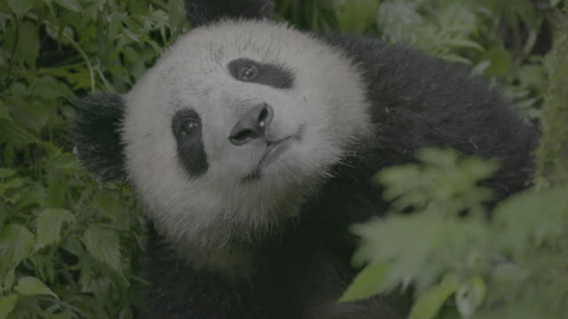 panda cub looking up in wolong panda reserve - tierkopf stock-videos und b-roll-filmmaterial