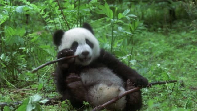 MS panda cub playing and chewing stick in forest, China