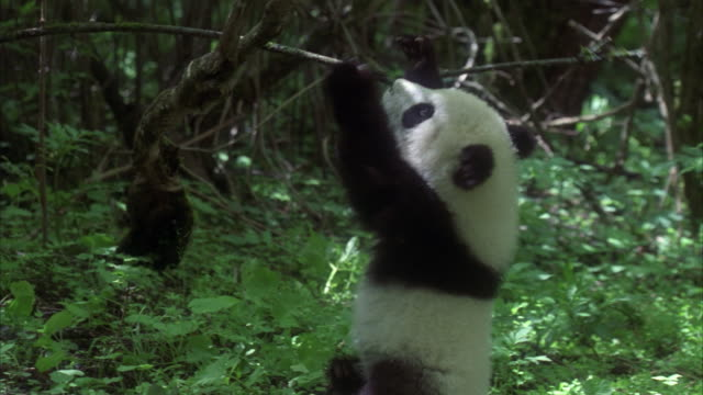 ms panda cub playing in forest, china - messing about stock videos & royalty-free footage