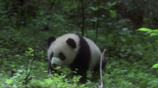 ms, pan panda cub running in forest, china - panda stock-videos und b-roll-filmmaterial