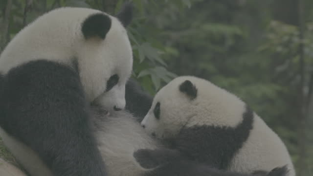 vidéos et rushes de panda cub sucking its mother's milk, wolong panda reserve - famille d'animaux