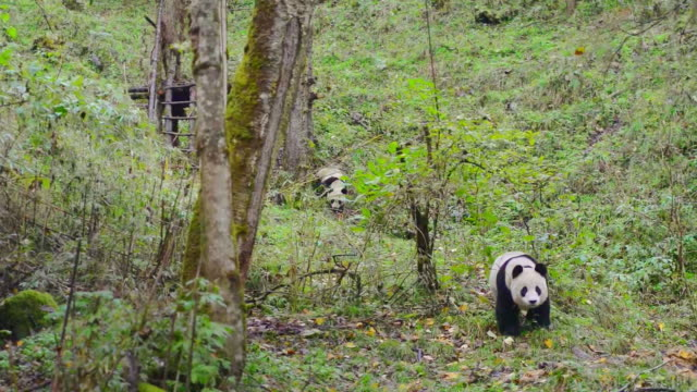 panda cub walking in the forest, china - panda stock-videos und b-roll-filmmaterial