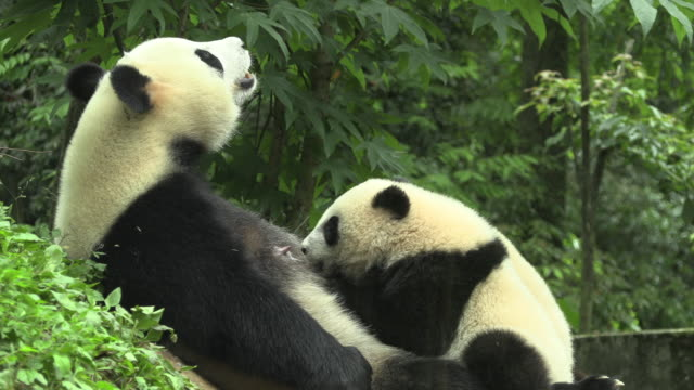 vidéos et rushes de panda cubs at their mother's breast, panda center, wolong district - famille d'animaux