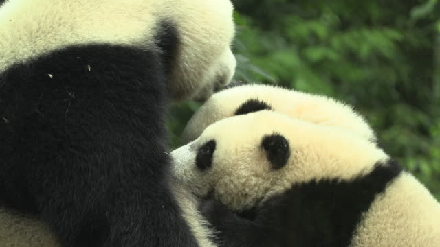 panda cubs at their mother's breast, panda center, wolong district - animal family stock videos & royalty-free footage
