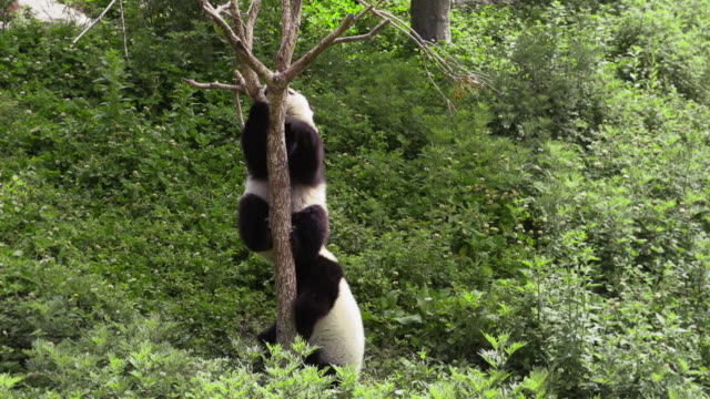 panda cubs hanging on a tree, china - パンダ点の映像素材/bロール