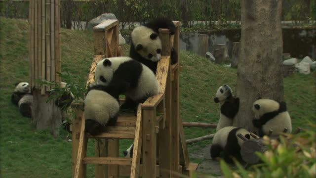 panda cubs play in their enclosure at the wolong panda research center. - panda stock-videos und b-roll-filmmaterial
