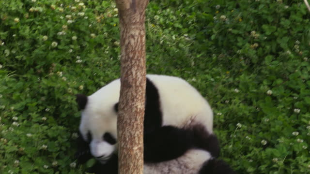 panda cubs playing aroud, china - rolling stock videos & royalty-free footage