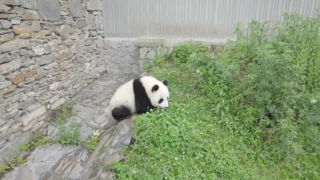 vídeos y material grabado en eventos de stock de panda defecating, panda center, wolong district, china - panda animal