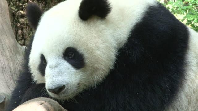 vidéos et rushes de panda soyez certain (e) que vous glisserez doucement vers le sommeil - panda